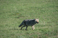 Happy Coyote Royalty Free Stock Images