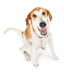 Happy crossbreed dog sitting looking up Stock Image