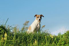 Happy crossbreed dog sitting in meadow against blue sky Royalty Free Stock Photos
