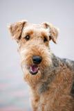 Happy Airedale Terrier portrait. Happy cute adult Airedale Terrier dog, portrait Royalty Free Stock Photography