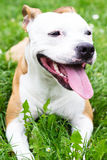 Happy and cute American Staffordshire Terrier Royalty Free Stock Images