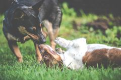Happy cute dogs friends playing together. Happy cute dogs playing together on summer lawn stock photo
