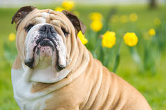 Happy cute english bulldog dog in the spring field Royalty Free Stock Photo