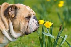 Happy cute english bulldog dog in the spring field stock photo