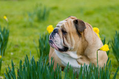 Happy cute english bulldog dog in the spring field Royalty Free Stock Images