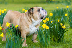Happy cute english bulldog dog in the spring field Stock Image