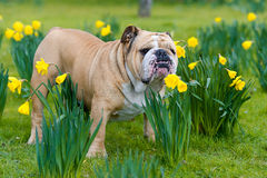 Happy cute english bulldog dog in the spring field Stock Images