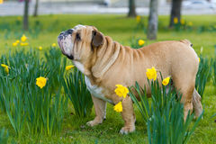 Happy cute english bulldog dog in the spring field Stock Photography