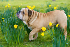 Happy cute english bulldog dog in the spring field Royalty Free Stock Photos
