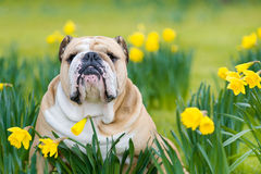 Happy cute english bulldog dog in the spring field Royalty Free Stock Photos