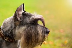 Portrait mini Schnauzer with interesting eyes outdoors. Happy, cute, funny miniature dog schnauzer puppy sitting outdoors. beautiful portrait of miniature royalty free stock images