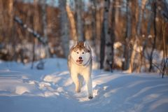 Happy,cute and funny siberian husky dog with tonque hanging out running on the snow in the winter forest at sunset. Portrait of funny, happy andcute dog breed stock photo