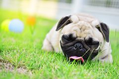 Happy cute Pug in garden. Happy cute Pug sleeping in garden stock photography