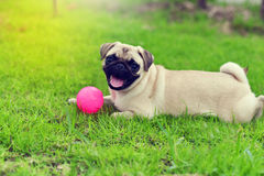 Happy cute Pug Royalty Free Stock Photography