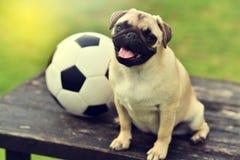 Happy cute Pug Stock Photos