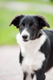 Puppy border collie portrait Stock Photo