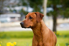 Happy cute rhodesian ridgeback dog in the spring field Stock Photography