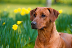 Happy cute rhodesian ridgeback dog in the spring field Stock Images