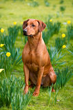 Happy cute rhodesian ridgeback dog in the spring field Stock Photo