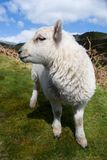 Happy and cute sheep baby, english and welsh animal wildlife, white sheep, spring in the Shropshire Hills, UK 4/2016 Stock Photo