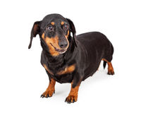 Happy Dachshund Breed Dog Stock Photography