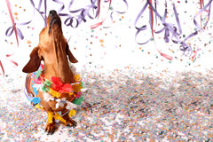 Happy dachshund at Carnival party. Head up Royalty Free Stock Photos
