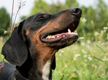 Happy Dachshund Dog. Little, proud and happy Dachshund at the park Stock Image
