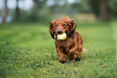 Happy dachshund dog running with an apple. Brown dachshund dog running outdoors Royalty Free Stock Image