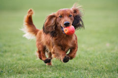 Free Happy Dachshund Dog Running With An Apple Royalty Free Stock Photography - 85775147
