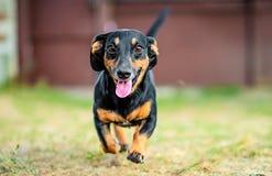 Happy dachshund running stock photography