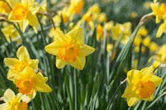 Happy Daffodils. Close-up of a cluster of several daffodils in a bright spring garden royalty free stock photography
