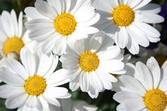 Happy daisies Royalty Free Stock Images