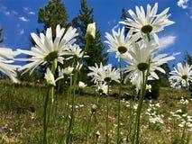 Happy daisies Stock Photography