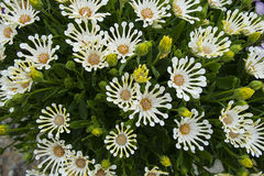Happy Daisies. Some white daisies with rounded ends to the petals that look quite zaney and happy Stock Photo
