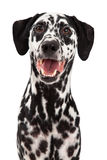 Happy Dalmatian Dog Smiling Stock Images