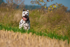 Happy dalmatian jumping Royalty Free Stock Images