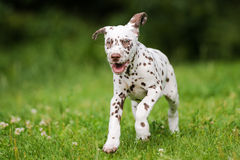 Happy dalmatian puppy running on grass Stock Images