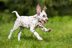 Happy dalmatian puppy running on grass Royalty Free Stock Images