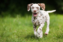 Happy dalmatian puppy running on grass. Brown dalmatian puppy outdoors in summer stock photography