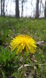 Happy dandelion. Dandelion In the grass Stock Images