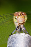 Happy darter Stock Images