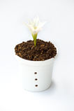 Happy day. Beautiful flowers in a white flower pot on white background Royalty Free Stock Photo
