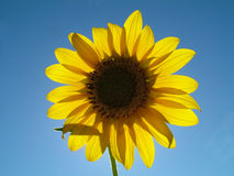 Happy Days. Smiling sun flower Stock Photography