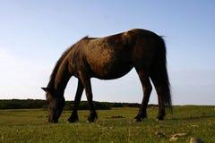 Happy Days. Wild ponies roam the highlands of Dartmoor in Devon Royalty Free Stock Image