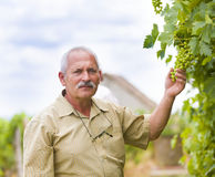 Happy with the development. Senior winemaker and horticultural expert checking unseasoned grape Stock Photo