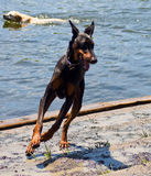Happy Doberman. Doberman Pincher running at dog park by the water Royalty Free Stock Photos