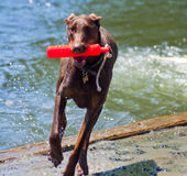 Happy Doberman Pincher Stock Images