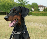 Happy Dobermann Dog. Big, proud and happy Dobermann at the park Royalty Free Stock Photography