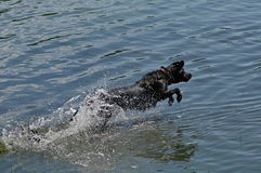 Happy dog ��jumping into the water Royalty Free Stock Image