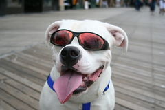 Happy Dog. A cute dog with sunglasses Stock Images